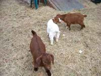 Several Boer doelings for sale. Will soon have Boer x
