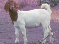 This Doeling has really good bloodlines,lots of