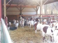 Description Large selection of Boer goats. Bred does