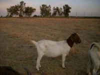 BOER GOAT FOR SALE $180 FEMALE CALL  IF NO ANSWER LEAVE