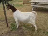 Boer doe for sale. Great breeder as a commericial goat.