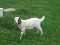 We have a male Boer Goat for sale, alittle over 2