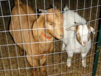 Registered Red Boer Goat. Female. Has several ennobled
