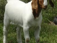BOER SHOW GOAT WETHER   SEPTEMBER BORN   CURRENT ON