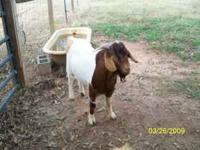 100% Boer buck, 11 month old, lots of color, would make