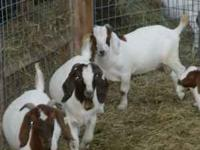 11 young breeding bucks to choose from. Can be