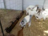 Boer goat babies all are weaned and ready to go, around