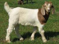 2 boer bucks (billy goats) for sale. One is 9 weeks old