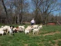 Young Boer Does $125 each- - - Boer Nannies 2-4 years