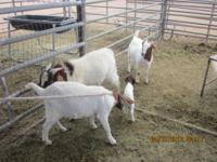 Boer Goats for sale! 1 male, 2 females, and 1 month old