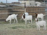 I have 9 boer goats for sale.. (1) Male is 120dlls (2)