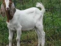 We have 8 goats for sale. 100% Boer doeling $125 85%