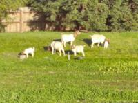 Boer goats for sale. Bucks,does, wethers available.