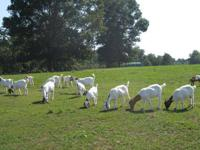 Selling our herd of Boer goats (13 total), some