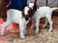Show wethers - Born January 29th to present, prices