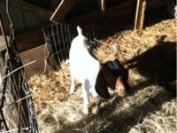 I have 3 boer cross wethers will make great 4H goats or