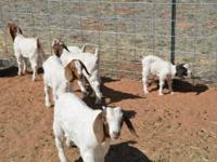 I have several Boer kids to choose from. Ranging from 3