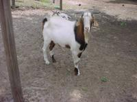 I have a Large Boer x Kiko Billy and Nanny Goat. She