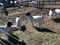show kids and meat kids for sale all born from jan 1