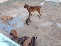 I have a litter of boerboel puppies all set for their