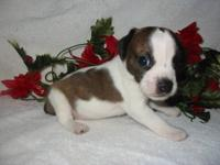 These are Boggles (Boston Terrier/Beagle) Puppies! They