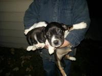 I have four male beagle/boston terrier puppies for