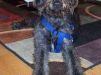 Dam: 1st Generation Black Labradoodle weight 65 pds