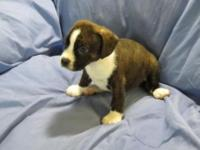 5 males to choose from. Boglen Terriers are active,