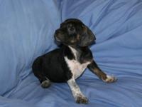 Boglen Terriers are a cross between a Boston Terrier