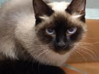 BoJangles is an adult female Siamese mix. She is a
