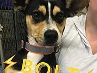 Bolt's story Bolt is an adorable corgi mix. He is about