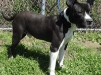 Bolt is an eighteen month old, male American Pitbull