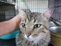 Bombay - Esmerelda - Medium - Adult - Female - Cat MY