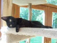 Bombay - Whitley-declawed 5 Month Old - Small - Baby -