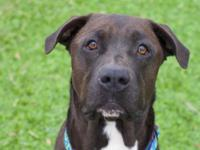 Bon Jovi is a 2 year old black male American Pit Bull
