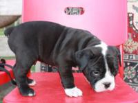 Bonaparte is an AWESOME male Olde English Bulldogge