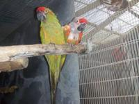 Hi I have the following: 1 pair of ruby macaws for