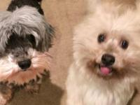 Gabbi and Rylie  Bonded Pair of Havanese Dogs For