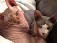 Two neutered and declawed bonded male sphynx felines