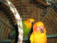 I am selling my bonded pair, Sun conure male and Jenday