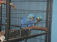 Bonded pair of Hyacinth macaws for sale. DNA sexed male