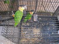 I have a Bonded pair of black head caique the male is