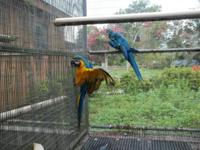 This is a pair of bonded Blue and Gold Macaws that were