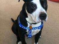 Hi I'm Bones! I am a VERY sweet Pit Bull Terrier mix. I