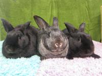 Bongo, Iris, & Coal - Three gorgeous buns who are