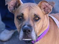 Bonnie's story I'm a 7 year old fawn female boxer mix.