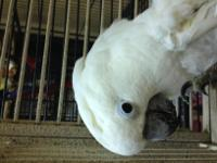 Bonnie is a 20 yr young Umbrella Cockatoo. She is sweet