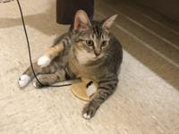 Bonnie is 8 months female DSH Callico Tabby that was