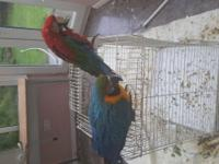 We are selling our blue and gold Macaw, which is a year