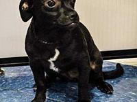 Boo's story Meet Boo...an 8 month old chiweenie who is